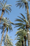 Palm Trees. This is a tunnel of palm trees in Las Vegas royalty free stock photos