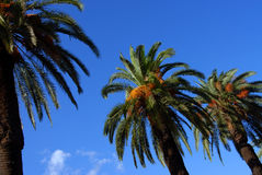 Palm trees. In a row in the centre of Italian citty, Palermo Royalty Free Stock Image