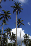 Palm trees. In Cherating, east coast of Malaysia Royalty Free Stock Photography