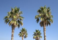 Palm Trees. Against blue sky Royalty Free Stock Photos