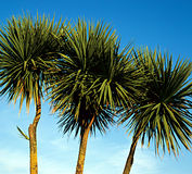 Palm Trees. Palm trees along  the cornish riviera south west england Royalty Free Stock Image