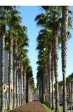 Palm trees. Along  Harbor drive in San Diego Stock Image