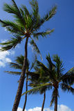 Palm trees. Blowing in the wind in hawaii stock image