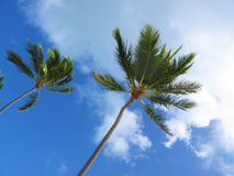 Palm Trees. Tropical palm trees set against bright blue sky with white clouds stock image