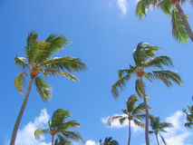 Palm Trees. Tropical palm trees set against bright blue sky with white clouds royalty free stock image