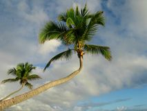 Palm trees. Bent palm tree against cloudy sky,West Indies Royalty Free Stock Images