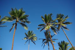 Palm trees. Waving in the wind on Hawaii Stock Images