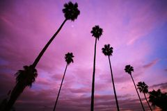 Palm trees. High palm trees over beautiful pink sunset sky Stock Images