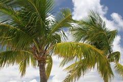 Palm Trees. Florida Keys Palm Trees stock image