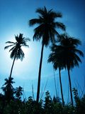 Palm trees. Three palmtrees with sun backlighting Royalty Free Stock Image