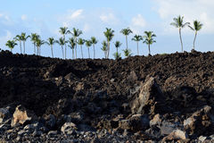 Palm trees above lava field at Mauna Lani resort Royalty Free Stock Photo