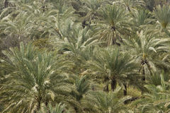 Palm Trees In Abundance Stock Image