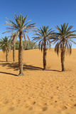 Palm trees in Africa desert on sand royalty free stock photo