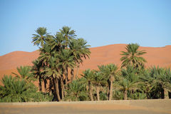 Palm trees in Africa desert on sand. Palm trees in Africa desert, tropical trees, blue sky with clouds, beautiful scenery sunny day. African landscape, Sahara Royalty Free Stock Images