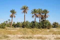 Palm trees in Africa royalty free stock photos