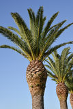 Palm trees against blue clear sky Royalty Free Stock Images
