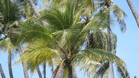 Palm trees against the blue sky.  stock video footage