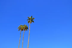 Palm trees against a blue sky. Stock Photo
