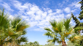 Palm trees against blue sky background royalty free stock image