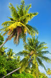 Palm trees against a blue sky .Beautiful palm trees against blue sunny sky.Palm trees on sky background Royalty Free Stock Image