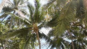 Palm trees against the blue sky. Coconuts palm tree swaying with the wind, set against a clear blue sky stock video