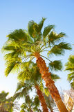 Palm trees against blue sky Royalty Free Stock Image