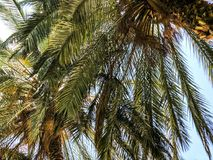 Palm trees against blue sky, Palm trees on tropical coast coconut tree, summer tree. stock photo