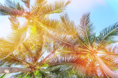 Palm trees against blue sky, Palm trees at tropical coast, vintage toned and stylized Stock Photo