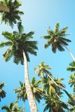 Palm trees against blue sky, Palm trees at tropical coast, vintage toned and stylized, coconut tree,summer tree ,retro.  stock photos