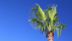 Palm trees against the blue sky. Palms swaying in the wind against the blue sky stock footage