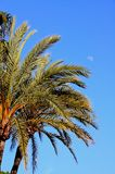Palm trees against a blue sky, Spain. Royalty Free Stock Images