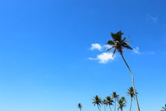 Palm trees against the blue sky Stock Photo