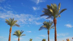 Palm Trees Against a Blue Sky. Summer Background. Of green trees against the blue sky in Egypt stock video