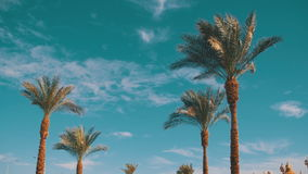 Palm Trees Against a Blue Sky. Summer Background. Of green trees against the blue sky in Egypt stock footage