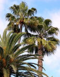 Palm Trees Against a Blue Sky. Palm trees sway against a blue sky Royalty Free Stock Photography