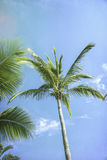 Palm trees against a blue sky Stock Images