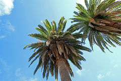 Palm Trees against a Blue Sky. Two date palms, from below, against a blue sky Stock Photo
