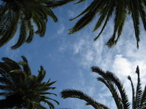 Palm Trees against blue summer sky. Palm Trees against the blue summer sky with some cloud stock photography