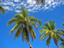 Palm Trees against a Bright Blue Sky Stock Images