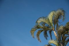 Palm trees against a brilliant blue sky. In Florida in the early spring royalty free stock photo