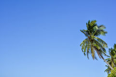 Palm trees against a clear blue sky. Upwards view of the tops of tall palm trees against a clear blue sky Stock Image