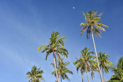 Palm trees against a clear blue sky. Upwards view of the tops of tall palm trees against a clear blue sky and a half moon in the distance Stock Image