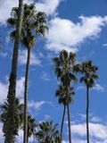 Palm trees against clouds and blue sky Royalty Free Stock Photo