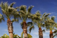 Palm trees against a deep blue sky in Los Angeles Royalty Free Stock Images