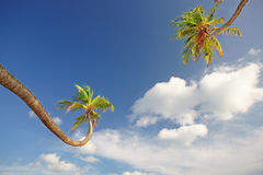 Palm trees against fluffy white clouds Royalty Free Stock Photos
