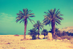 Palm trees against sea in a dessert Stock Image