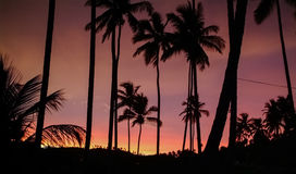 Palm Trees against the Sky illuminated by the Sunset. Silhouette Royalty Free Stock Image
