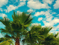 Palm trees. Against sky with light clouds Stock Photography