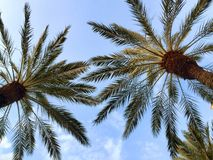 Palm Trees in the air royalty free stock photos
