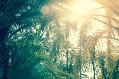 Palm Trees In Alicante In Spain With Sun And Sky On A Sunny Day Stock Image